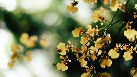 Oncidium Orchid Flowers 01