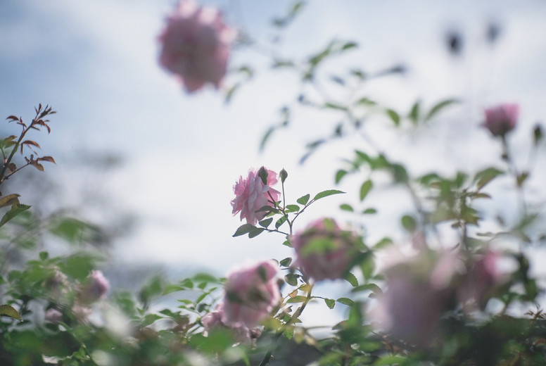 Pink rose flowers 02