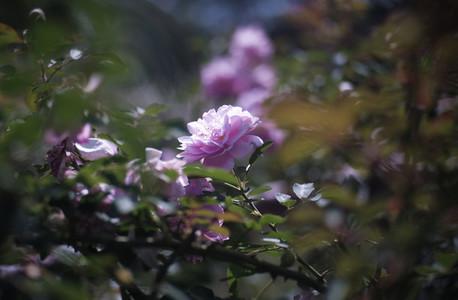 Pink rose flowers 03