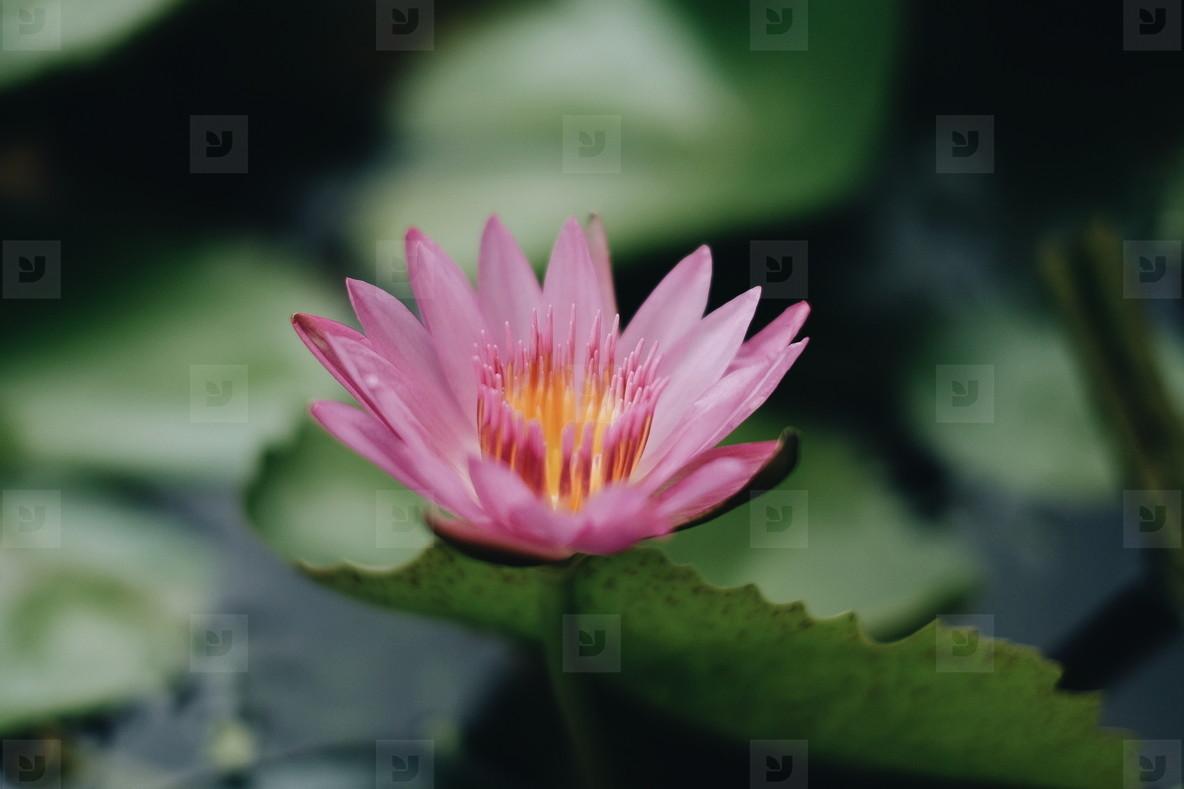 Photos Pink Waterlily Or Lotus Flower Youworkforthem