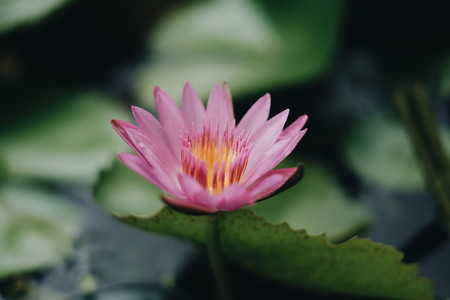 Pink WaterLily or Lotus Flower
