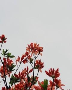 Flame tree flowers