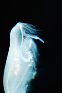 Jellyfish on Black
