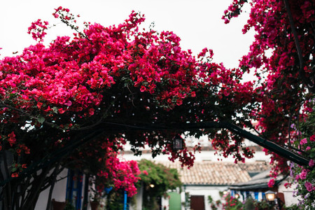Big bougainvillea in a typical andalusian courtyard in Cordoba  Andalusia Spain