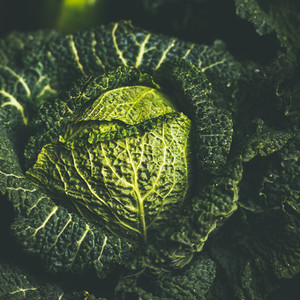 Close up of raw green cabbage texture and background  square crop