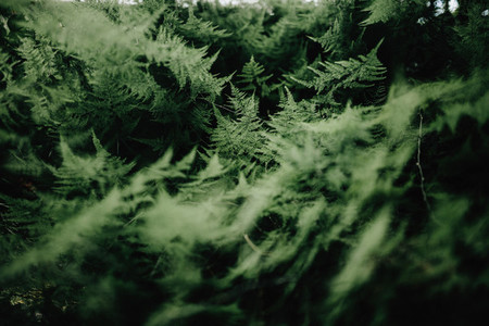 Close up asparagus setaceus in a playground