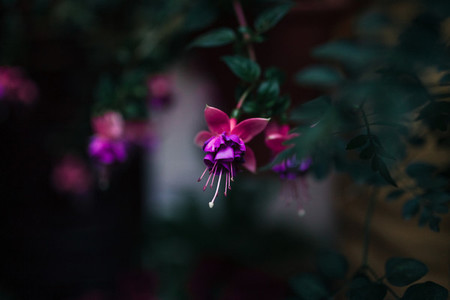 Close up of a fuchsia isolated flower in a garden
