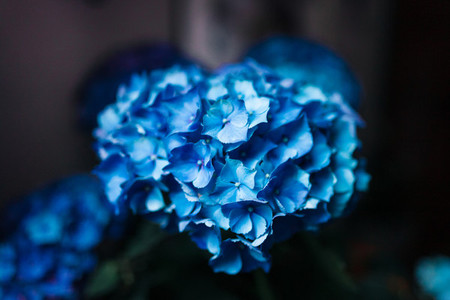 Blue hydrangea flowers in a garden