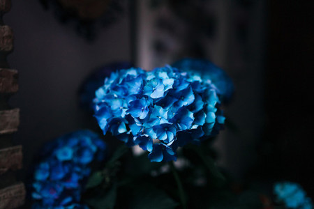 Blue hydrangea flowers in a playground