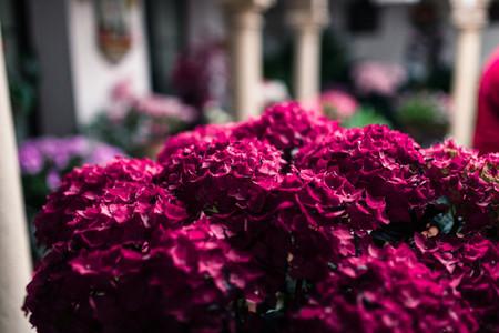 Pink hydrangea flowers in a playground