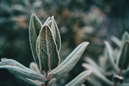 Close up of leaves of cistus albidus