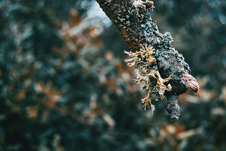 Close up of hypogymnia in a branch