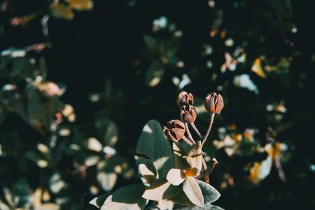 Close up of dry fruits of juniperus oxycedrus