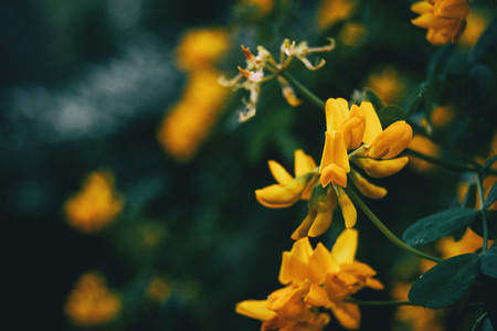 Close up of yellow flowers of coronilla valentina in nature