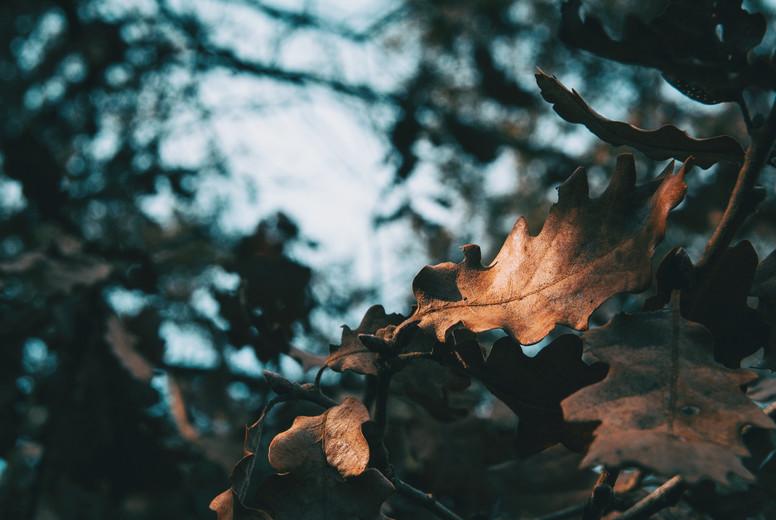 Close up of an isolated oak leaf illuminated