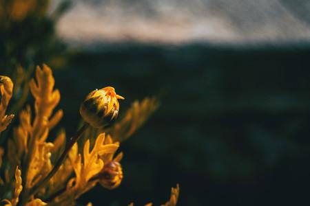 Close up of unopened flower of yellow argyranthemum frutescens