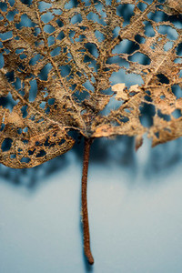 Dried Leaf on Blue