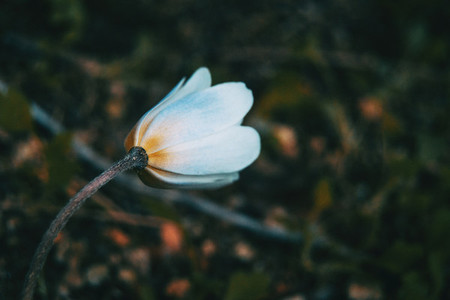 close up of a white and isolated anemone nemorosa flower