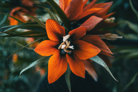 Details of a red flower of fritillaria imperialis