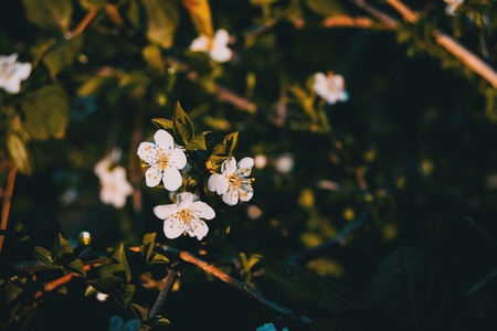 White flowers on the branch
