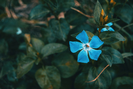 Close up of an isolated and blue flower of vinca major