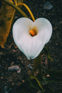 Close up of a white zantedeschia flower