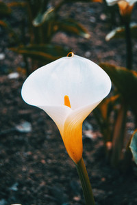 Close up of a white zantedeschia flower