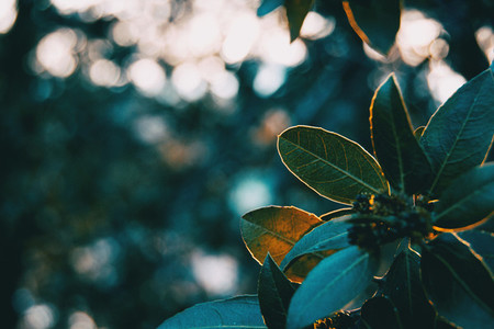 Green leaves of ligustrum lucidum