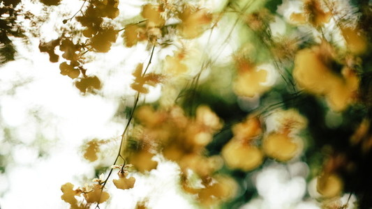 Oncidium Orchid Flowers 04