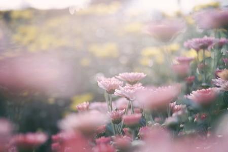 Pink and Yellow Chrysanthemum