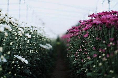 Chrysanthemum Flowers Garden