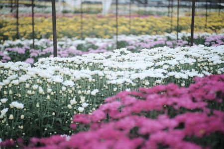 Chrysanthemum Flowers Garden