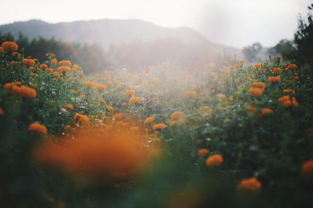 Marigold flowers garden