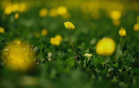 Close up yellow Arachis pintoi