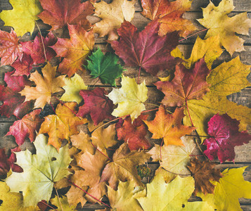 Flat lay of colorful yellow and red fallen maple leaves