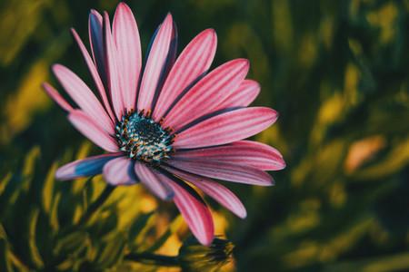 Pink osteospermum ecklonis flower