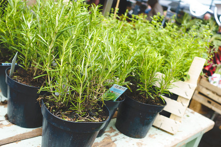 Pots of vibrant green rosemary