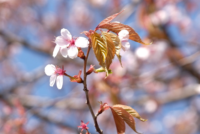 Sakura 161024