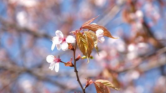 Sakura 161088