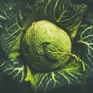 Raw fresh uncooked green cabbage over dark background  square crop