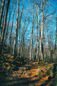 A path among tall bare trees