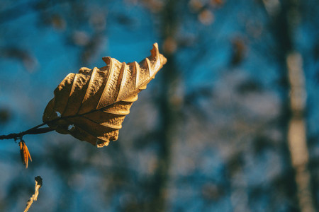 Close up of a dried autumnal leaf