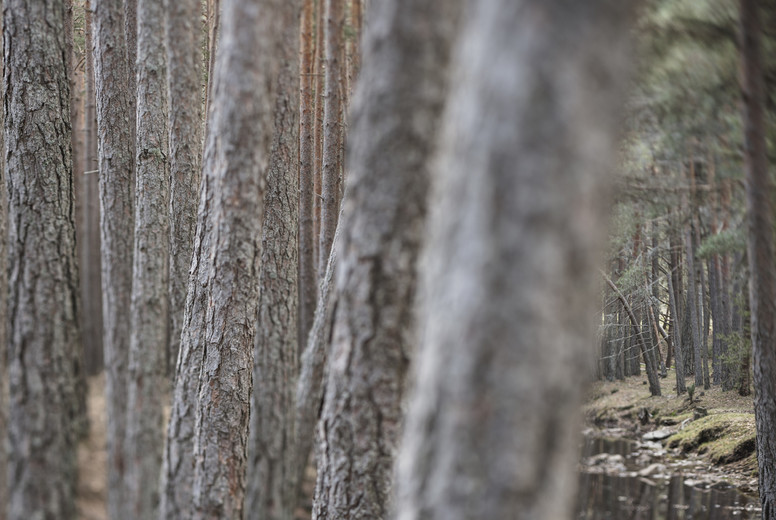 Tranquil remote pine tree trunks