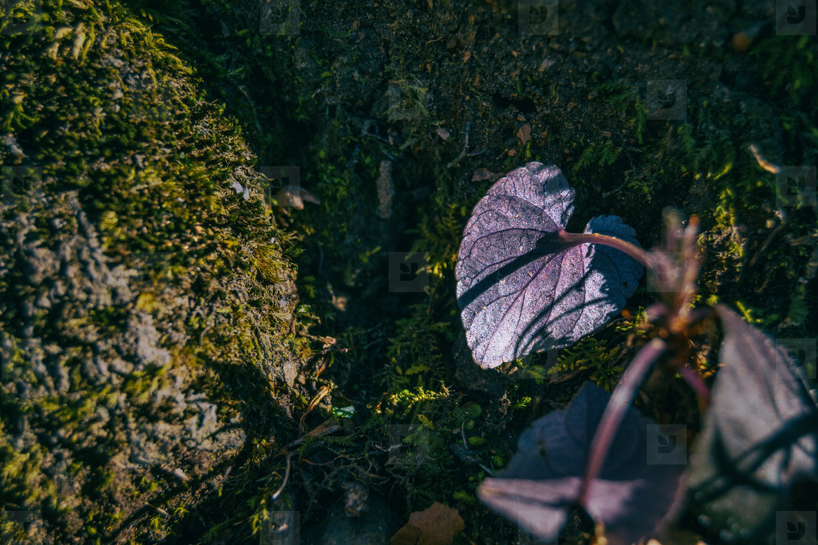 Close up of the back of a purple leaf with a heart shape