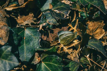 A butterfly among fallen leaves