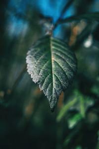 Close up of a leaf of rubus ulmifolius