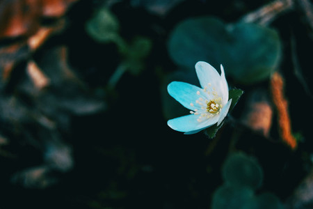 Close up of a white anemone nemerosa flower
