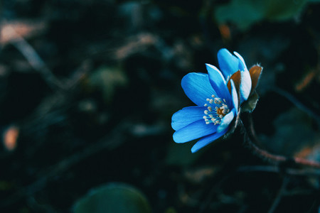 Close up of a blue anemone hepatica flower
