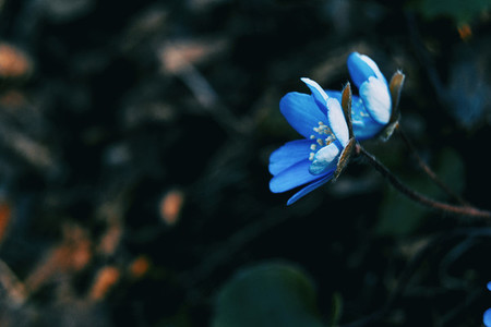Two blue flowers of anemone hepatica