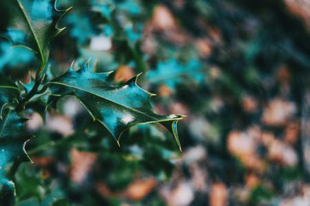 Close up of a leaf of ilex